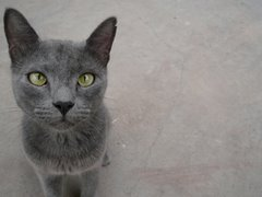 Cat in Grey